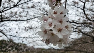 花,春,桜,木,花見,お花見,イベント,花粉症,背景ぼかし