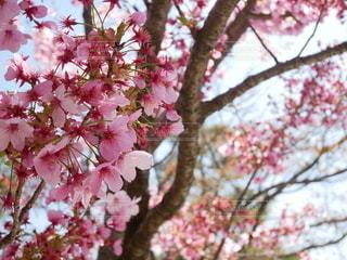 花,春,桜,屋外,ピンク,鮮やか,満開,樹木,草木,桜の花,さくら,ブロッサム