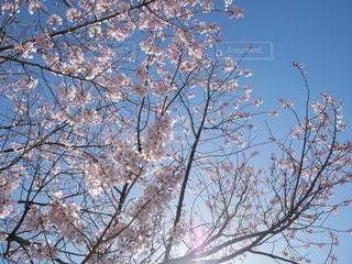 空,花,春,桜,木,屋外,太陽,青,光,樹木,草木,桜の花,さくら,煽り,ブロッサム,アオリ