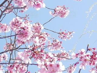 空,花,春,木,屋外,ピンク,雲,鮮やか,樹木,たくさん,快晴,桜の花,さくら,ブロッサム