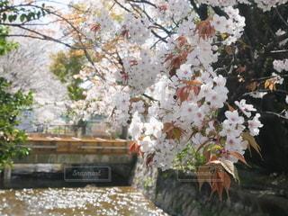 花,春,桜,橋,屋外,川,水面,樹木,草木,桜の花,さくら,ブロッサム