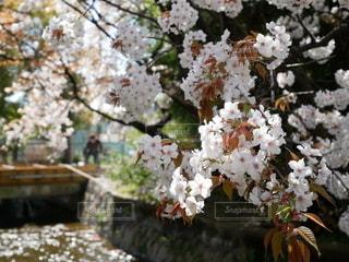 男性,1人,花,春,桜,橋,川,樹木,草木,桜の花,さくら,ブロッサム