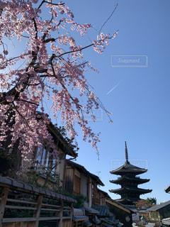 春,屋外,京都,樹木,さくら