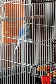 動物,鳥,昼寝,居眠り,ペット,フェンス,セキセイインコ,インコ,チキン,青い,ケージ,青い鳥,ペット用品