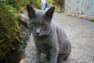猫,動物,屋外,ペット,人物,グレー,野良猫,睨む,ネコ,目つきの悪い猫