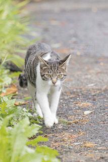 猫,動物,歩く,散歩,野良猫,ネコ