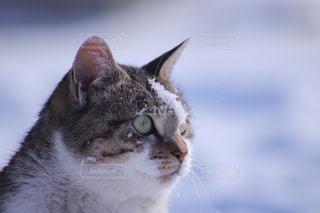 猫,動物,雪,かわいい,雪遊び,野良猫,ネコ,猫の日,にゃんにゃんにゃんの日