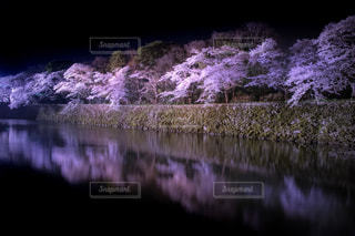自然,風景,花,春,桜,夜,夜空,湖,ピンク,黒,水面,花見,夜桜,反射,樹木,ライトアップ,イベント,リフレクション