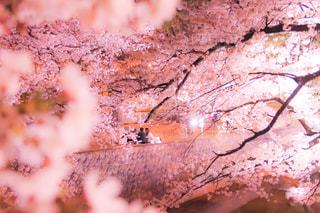 花,春,桜,ピンク,花見,夜桜,樹木,イベント,賑やか,草木,さくら,ブロッサム