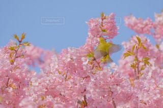 桜,鳥,ピンク,青空,羽,メジロ,河津桜