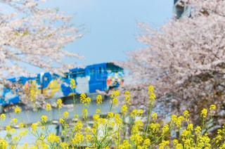 花,春,桜,青空,菜の花,モノレール,ソメイヨシノ