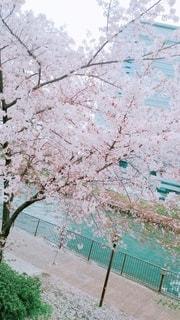 花,春,桜,木,屋外,ピンク,花見,樹木,お花見,イベント,桜の花,さくら,ブロッサム
