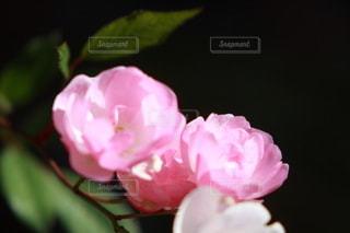 花,ピンク,バラ,花びら,草木,ブルーム,ブロッサム,フローラ