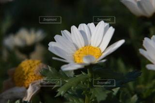 花,景色,花びら,草木,ブルーム,アフリカ デイジー,フローラ
