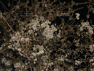 花,桜,屋外,樹木,草木,ブロッサム