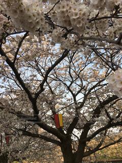 空,花,春,桜,屋外,花見,樹木,祭