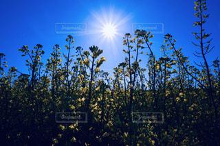 菜の花畑の写真・画像素材[2997750]
