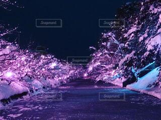 冬の桜の写真・画像素材[4068742]