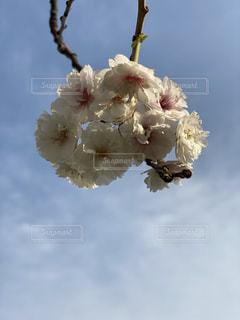 花,春,桜