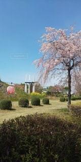 空,花,桜,屋外,しだれ桜,提灯,春の訪れ,サイクリングロード,桜まつり,垂れ桜