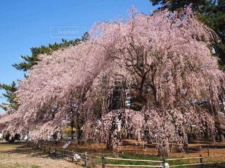 圧巻のしだれ桜の写真・画像素材[3033635]