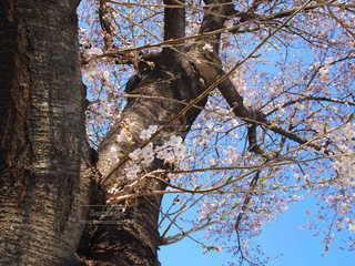空,春,桜,木,屋外,晴れ,樹木,春の訪れ,気持ちいい