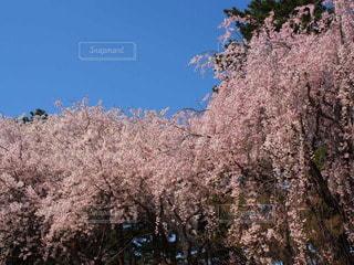 空,春,しだれ桜,桜の花,さくら,ポカポカ,ブロッサム,垂れ桜,桜見物