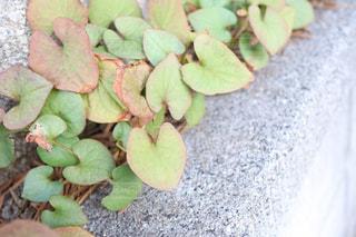 ハートの葉っぱの写真・画像素材[2989323]