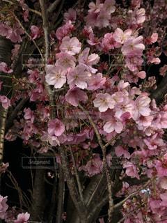 春,桜,夜桜,ブロッサム