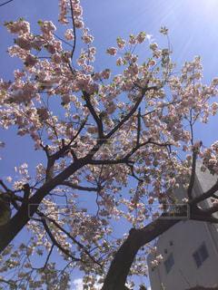 空,花,春,屋外,青い空,樹木,草木,桜の花,さくら,ブルーム,ブロッサム