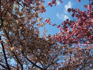 空,花,春,森林,屋外,青い空,樹木,草木,桜の花,さくら,ブロッサム,支店