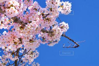 木の上のピンクの花のグループの写真・画像素材[3035445]