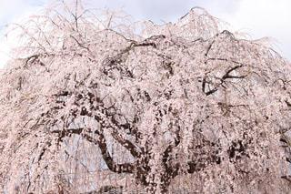 空,桜,屋外,京都,樹木,枝垂れ桜,草木
