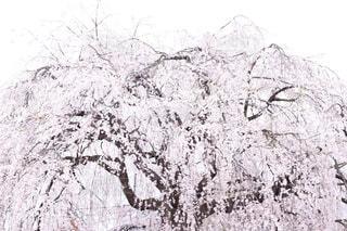 自然,桜,屋外,京都,満開,樹木,枝垂れ桜