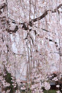自然,花,桜,京都,樹木,枝垂れ桜,草木