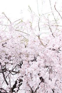 花,春,京都,満開,樹木,枝垂れ桜,桜の花,さくら,ブロッサム