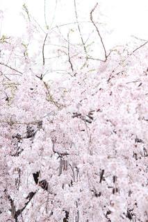 花,春,屋外,京都,枝垂れ桜,桜の花,さくら,ブロッサム