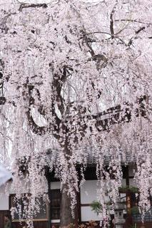 春,桜,京都,満開,樹木,枝垂れ桜