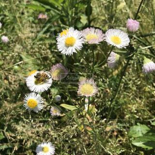 花,春,屋外,蜂,デイジー,草木
