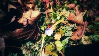 オオイヌノフグリとてんとう虫の写真・画像素材[3011430]