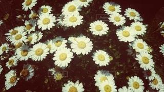 白い花の写真・画像素材[3011441]