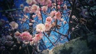 沢山の梅の花の写真・画像素材[3016024]