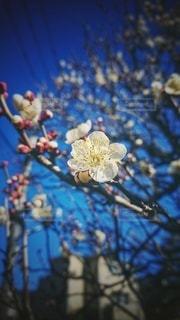 青空と梅の写真・画像素材[3016022]