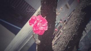 濃いピンクの梅の写真・画像素材[3023688]
