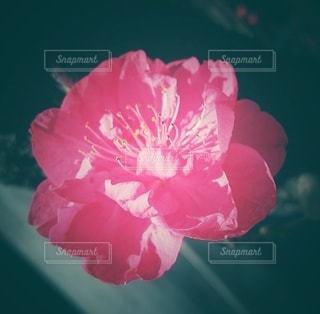 ピンクの梅の花の写真・画像素材[3024044]