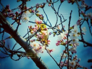 桜とメジロの写真・画像素材[3041931]