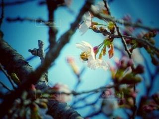 桜の花に止まっている蜂の写真・画像素材[3041933]