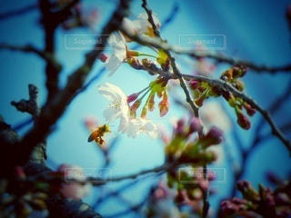 桜の花とホバリングしている蜂の写真・画像素材[3041930]