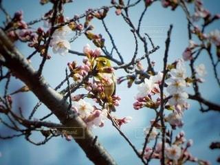 桜の花とメジロの写真・画像素材[3041932]