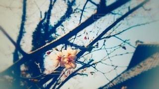 桜の花と屋根の写真・画像素材[3041934]
